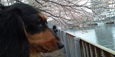 F1000002ルナ桜.jpg