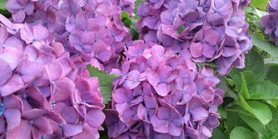 F1000009あじさい紫.jpg